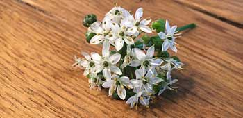 Schnittknoblauch Blüte